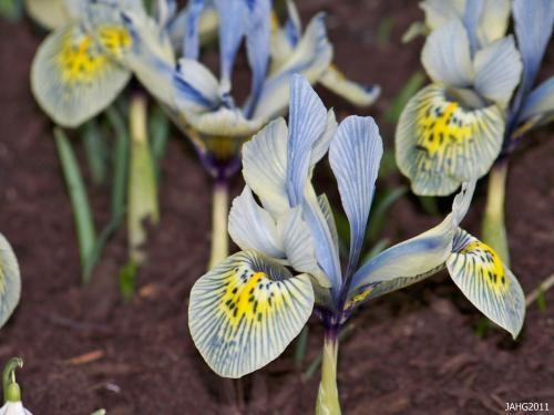 Wild Iris Katherine Hodgkin for the back shade garden.