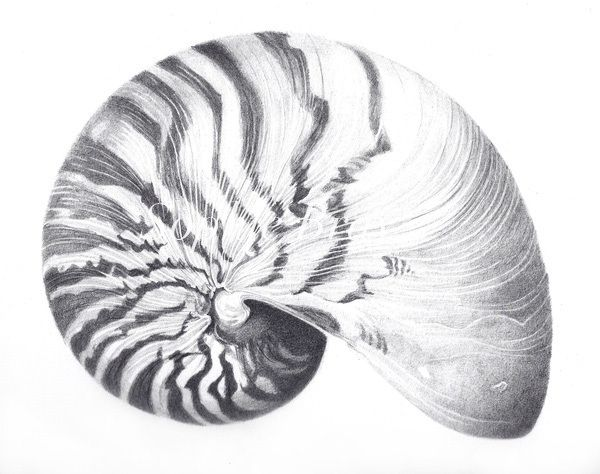 Contour Line Drawing Shell : Beautiful shell drawing ideas on pinterest natural