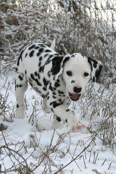 Simple Dalmation Chubby Adorable Dog - 6db18600d2ad6bacbf537df846b8f802---dalmatians-dalmatian-puppies  Gallery_99737  .jpg