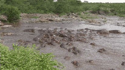 Crocodile swims into a herd of 30 hippos : natureismetal