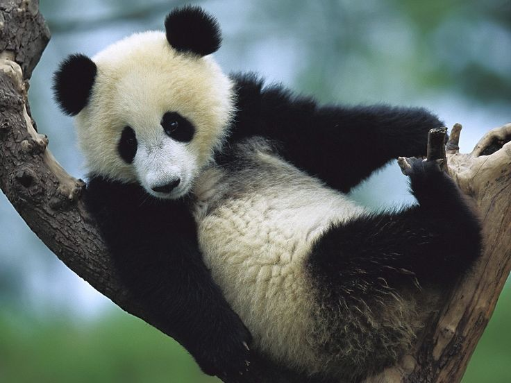 pandas | ... Species, Giant Pandas Facts, Photos, Information, Habitats, News