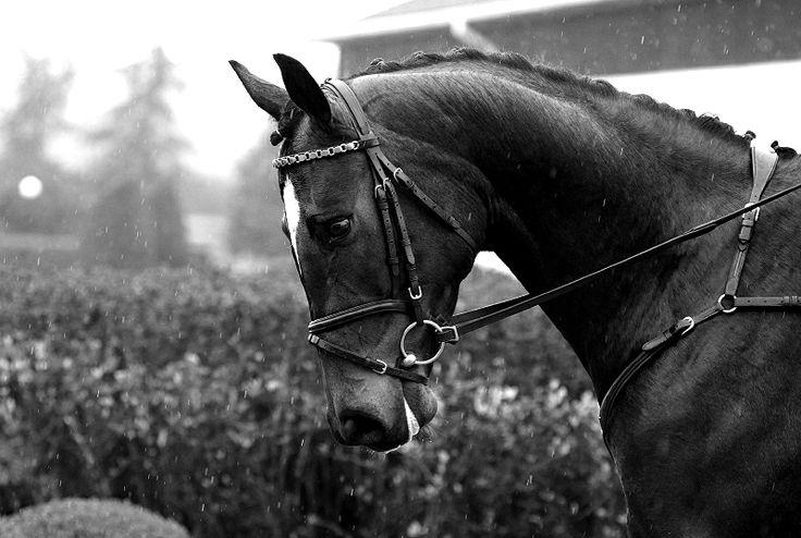 ZR-B Warka 2014 #rainy #horses #showjumping #hannoverian
