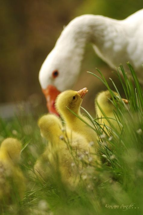 Adorable... but don't get too close.  Geese can be as protective as a mama grizzly bear