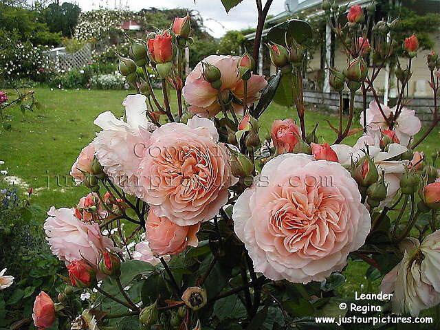 best 476 david austin roses images on pinterest gardening. Black Bedroom Furniture Sets. Home Design Ideas