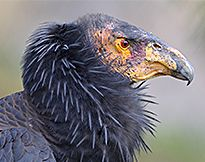 California Condor - Will Lead Bullets Finally Kill Off the California Condor? 07 May 2013