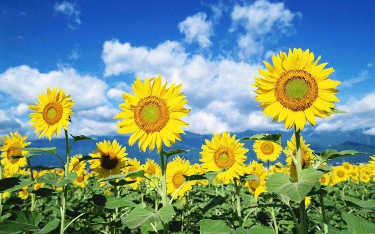 Health benefits of sunflower seeds. Healthy Ni - www.healthyni.com