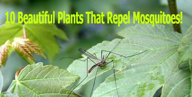 Keep The Chemicals Away! Try These Beautiful Plants To Repel Mosquitoes. The control of harmful insects and pests would be the demanding task for any gardeners throughout the year. However, instead of spraying chemicals, you can use plants to manage ... Read More »