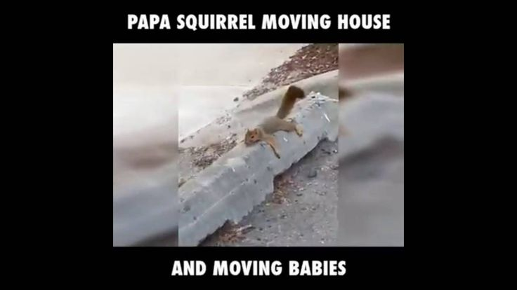 very funny papa squirrel moving house and moving babies,very funny video...