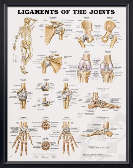 Ligaments of the Joints anatomy poster shows location of various joints and provides views of shoulder, elbow, hip, knee and ankle. Skeletal system for doctors and nurses.