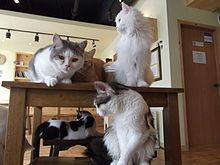 Many cats assemble for treat time at Norie Cat Cafe in Cheonan, Korea. A cat café is a theme café whose attraction is cats that can be watched and played with. Patrons pay a cover fee, generally hourly, and thus cat cafés can be seen as a form of supervised indoor pet rental.