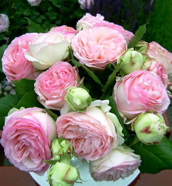 eden roses...looks like peonies. I might have to grow these if they survive in Florida