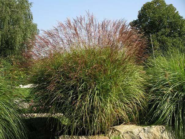 vijver en tuincentrum pelckmans miscanthus sinensis. Black Bedroom Furniture Sets. Home Design Ideas
