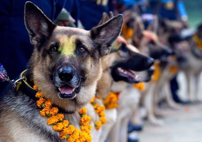 People offer garlands and food to dogs and other animals as part of the Tihar (Diwali) festival. (http://kathmandupost.ekantipur.com/news/2015-11-10/dogs-worshipped-on-kukur-tihar.html)  http://desi-stylebook.com/2015/11/diwali-around-the-world/