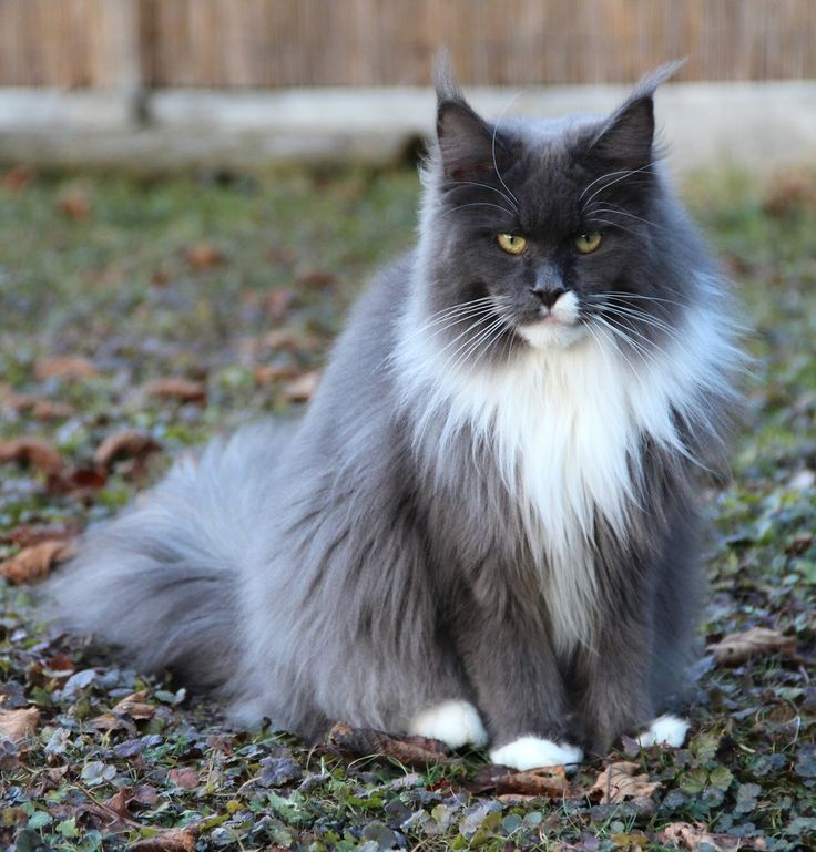 Maine Coon, blue solid & white (a 09). NL* Timaracoon Vanilla Rose