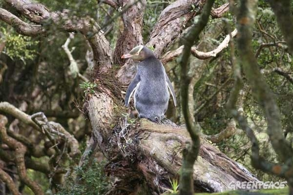 Yellow eyed penguin on a rata tree, Auckland Islands (C) Andy Maloney
