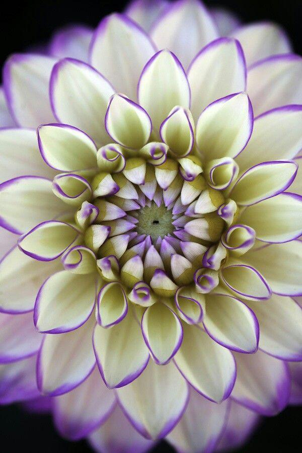 Dalia-idealna symetria. Dhalia - symmetry in everything.