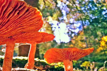 """Vitalpilze zählen zum Reich der Fungi, welches wesentlich näher als Pflanzen mit derm Reich der Tiere verwandt ist. Seit Jahrtausenden gehört das """"Fleisch des Waldes"""" auch zum Speiseplan des Menschen.   #reishi #Vitalpilze #Wirkung vitalpilze"""