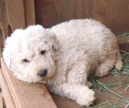 Komondor Puppy.