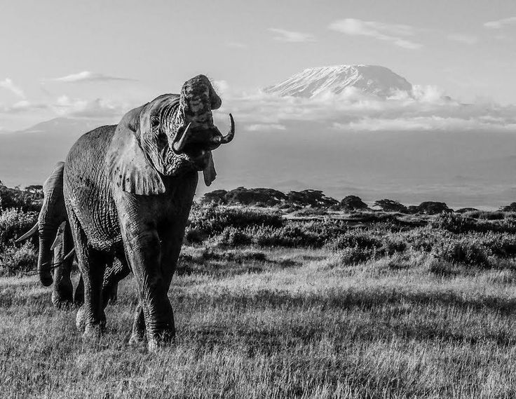 Animals Black And White Elephants 10000 Lions Big Cats: 15 Best David Yarrow Images On Pinterest