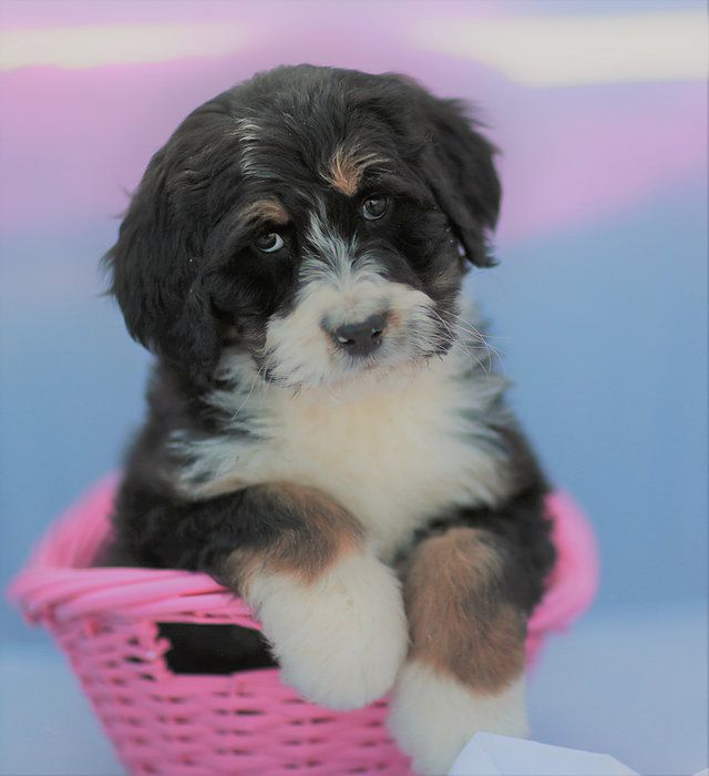 Bouncing Bernedoodles United States Puppies Available