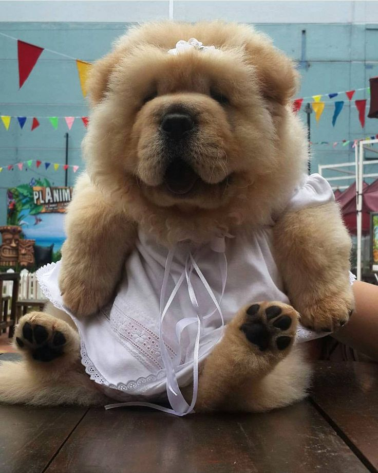 Best Chow Chows Images On Pinterest Puppies Bear And Gardens - This instagram chow chow looks like a fluffy potato and its so cute it doesnt even look real