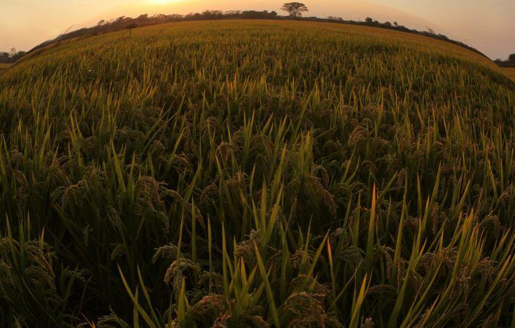 """Le Specie di riso classificate e presenti in tutti i continenti, sia quelle selvatiche che le coltivate, sono 15; tra esse è qui ricordata anche la """"Zizania palustris"""", è una Specie particolare, nota come riso selvatico degli indiani, il Wild rice dell'america del nord. - The classified rice species in every Continent are 15, both """"wild"""" and """"cultivar""""; among them there is also the """"Zizania Palustris"""", a particular one known as North American Wild Rice."""
