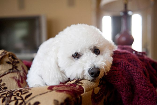 A lapful of charm in a cotton-ball cloud of curly white hair, the Bichon Frise is one of the sweetest and most affectionate of dog breeds. Learn all about Bichon Frise breeders, adoption health, grooming, training, and more.