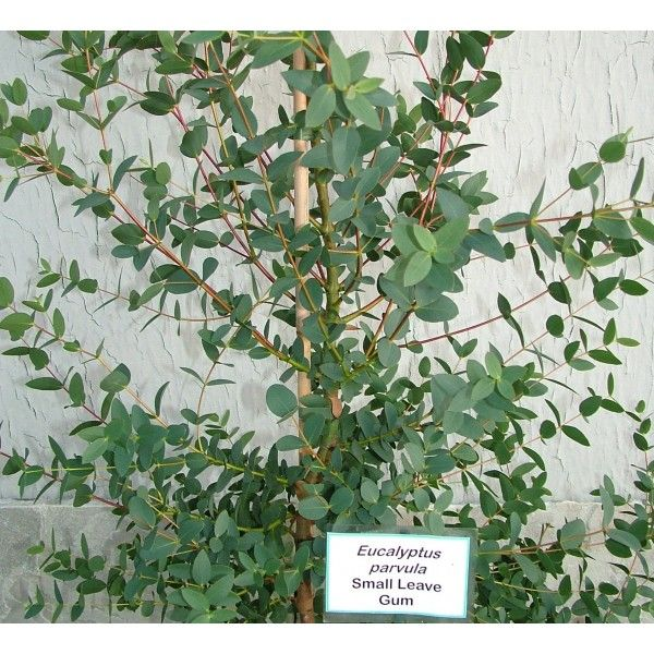 Eucalyptus Parvula Formerly Parvifolia Small Leaved Gum Foliage Beautiful Tree Eucalyptus Types Of Flowers