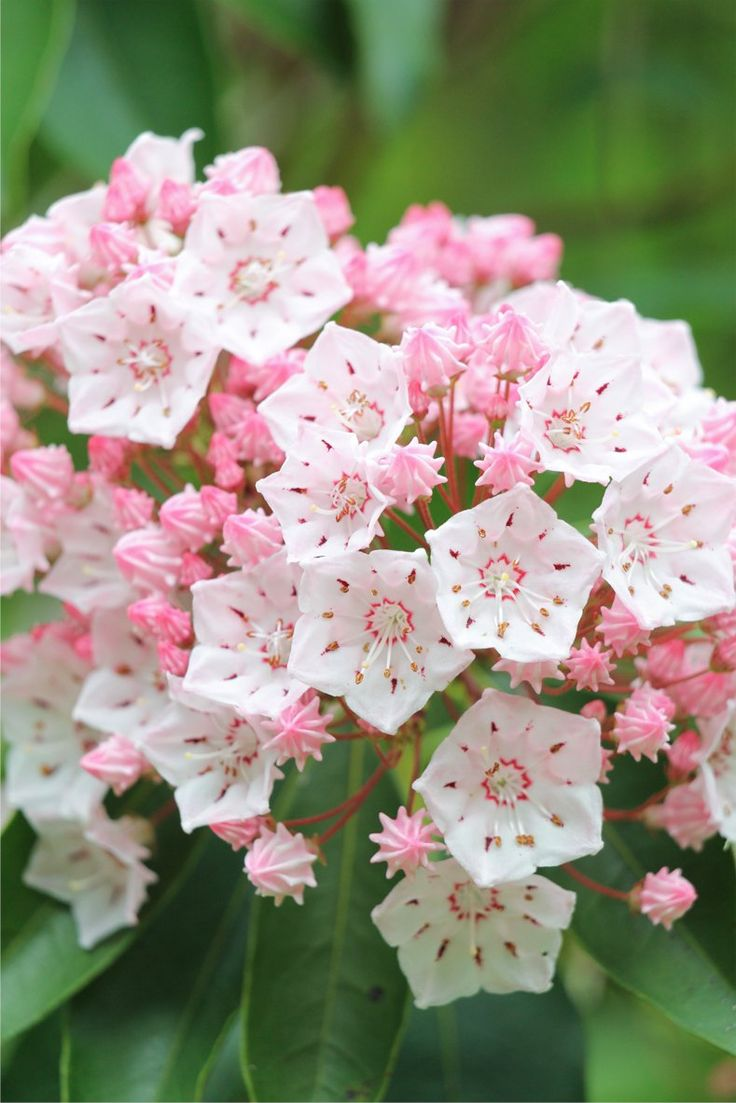 Kalmia latifolia by yuujii / Adobe Stock | How To Grow Shade Loving Mountain Laurel | If you are looking for a shade loving shrub that is evergreen and has beautiful flowers, Mountain Laurel (Kalmia latifolia) is perfect. Find out all the details on how to grow it.