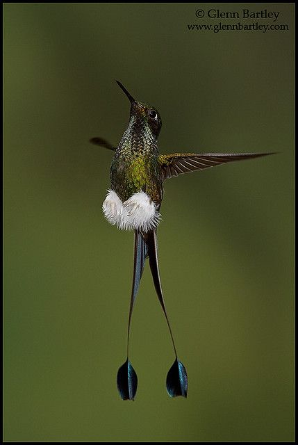 Booted Racket-tail hummingbird, Ocreatus underwoodii, feeding at a flower while flying in the Tandayapa Valley of Ecuador. Great photo of the 'BOOTS'