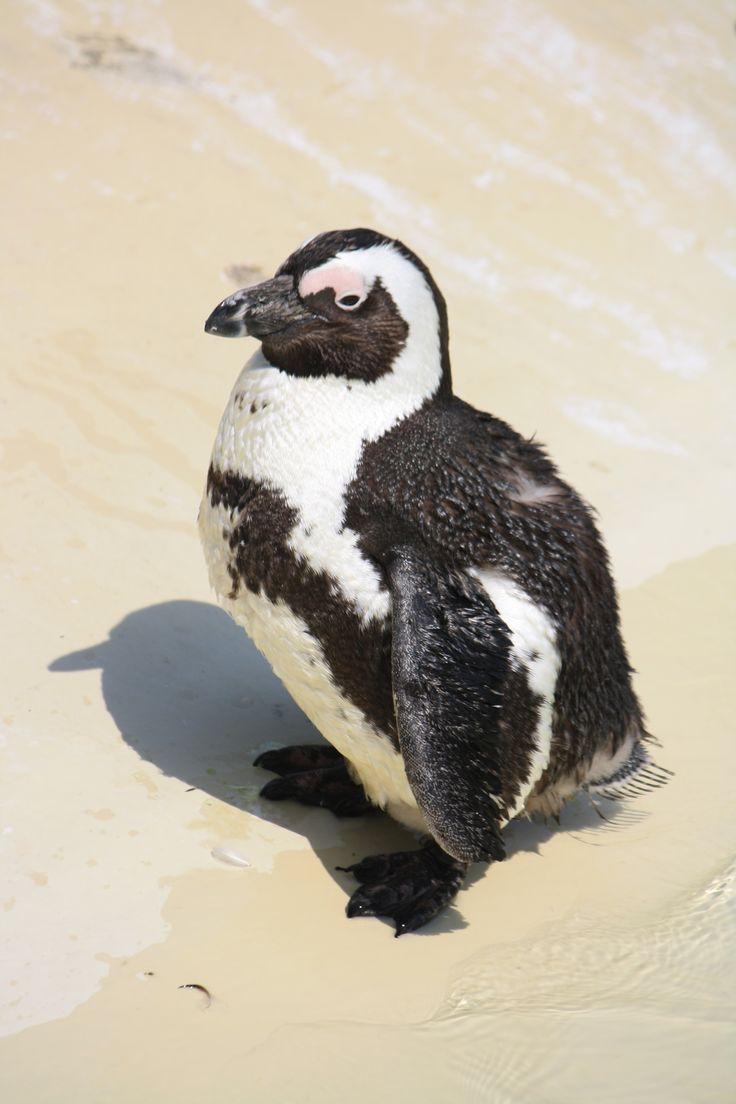 Plump Penguin