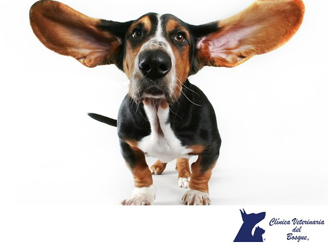 LA MEJOR CLÍNICA VETERINARIA DE MÉXICO. ¿Cómo limpiar las orejas de mi perro? Puedes utilizar los limpiadores recomendados por nuestros médicos veterinarios en la superficie de la parte interna de la oreja. Sumerge una bola de algodón en el líquido, exprime el exceso hasta que el algodón esté húmedo y solo tienes que sujetarlo en su lugar con el dedo pulgar e índice e ir limpiando suavemente. En Clínica Veterinaria del Bosque te llevaremos de la mano para no lastimar a tu mascota…