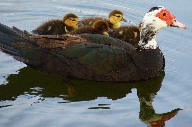 Muscovy Ducks Ducklings