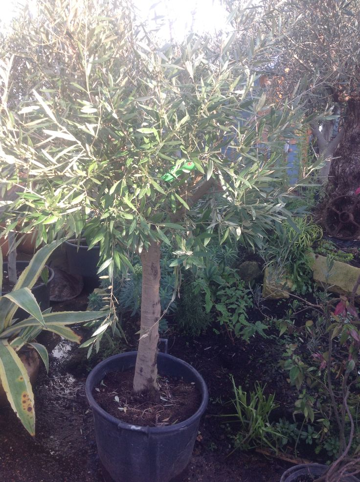 1000 ideas about olive trees for sale on pinterest for Olive trees for sale