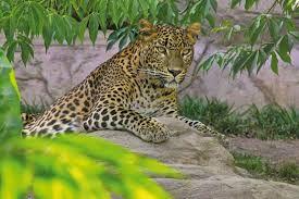 el leopardo esta  en el biopark fuengirola