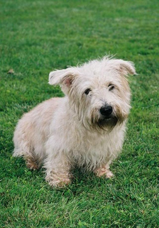 photo irish glen of imaal terrier  dog standard   irish glen of