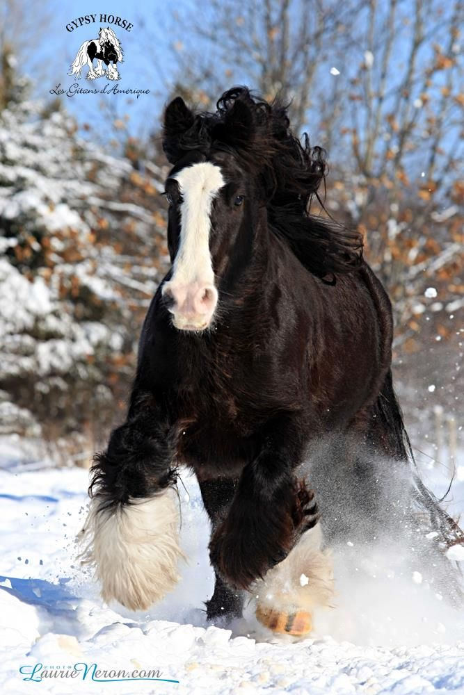gypsy vanner draft horse running in the snow | Horses ...