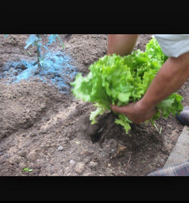 Nuestro objetivo es que las lechugas puedan crecer de este tamano y con los nutrientes necesarios, si seguimos tratandolas con todos sus cuidados como hasta ahora, si lo lograremos.   Male Hdz  20/04/20