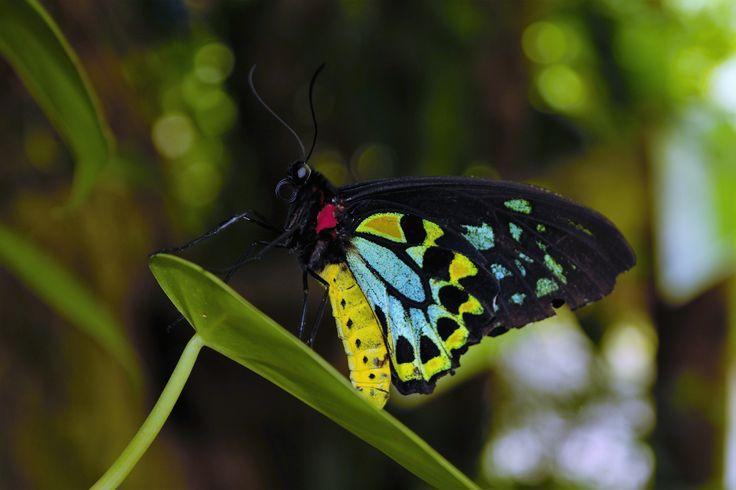 Kuranda Butterfly farm, Cairns, Queensland.