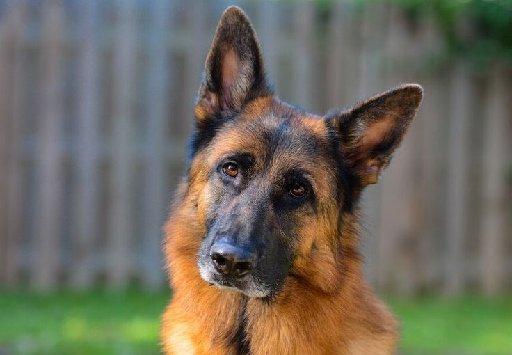 German shepherd colors a complete list of all 13