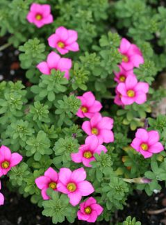 126 best flowers oxalis images on pinterest bulbs plants and oxalis hirta 120215 annies annuals blooms from fall thru spring when mightylinksfo
