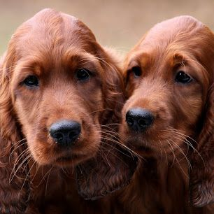 Irish Setter puppies, Charlotte Godart's  puppies, Belgium