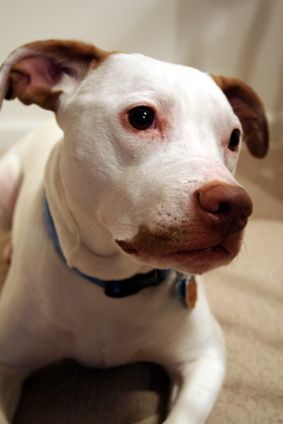 If you own a hyperactive pit bull that needs more than a stroll in the park to relax, you may be looking for ways to make him settle. While dogs do not sip on chamomile tea or do yoga, there are strategies to calm your pit bull's rowdy behaviors.