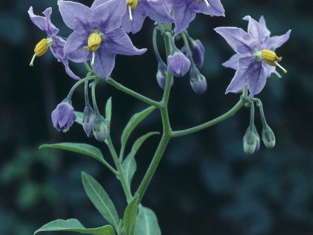 Blue flower yellow center ug99 solanum is a fast growing climber with small oval green leaves and clusters of blue flower yellow middle mightylinksfo