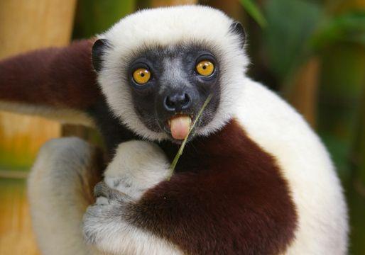 Image result for lemurs