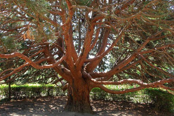 Земляничное дерево-алупка-парк