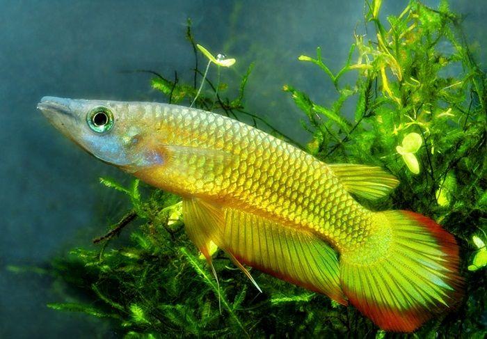 Golden Wonder Killifish   Akuarium Ikan Hias