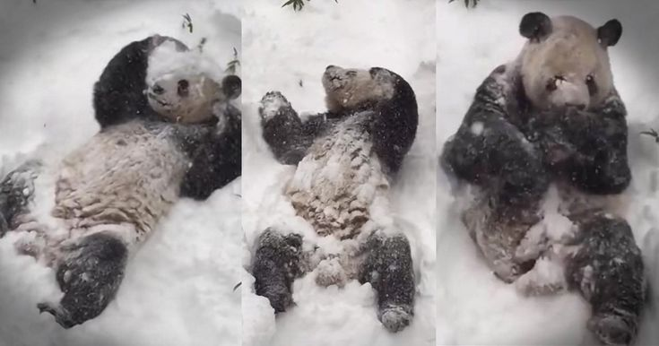 Tian Tian is a giant Panda who lives at the National Zoo. And when snow storm Jonas hit DC he was in heaven. I mean just look at this guy loving life! How cute is this!?!?