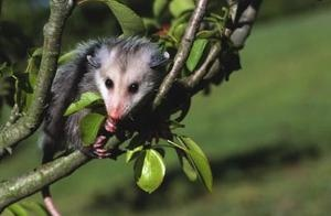 Safe repellent methods can be used to keep possums away.