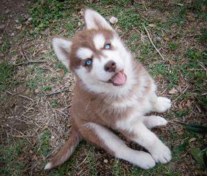 Siberian Husky Puppy! Gorgeous!
